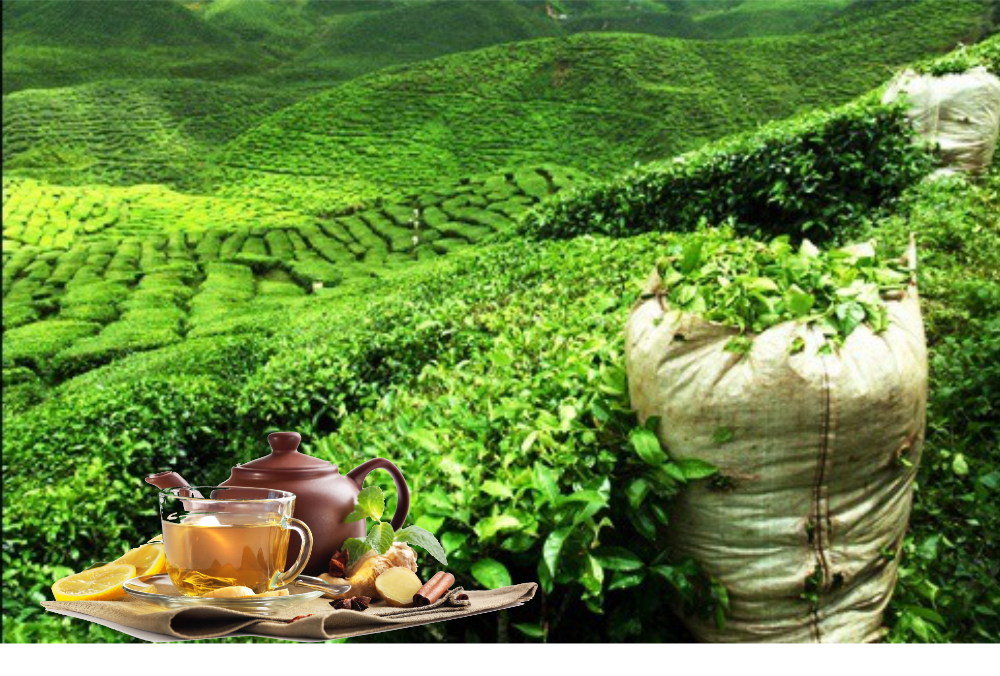 Gruener-Tee-Haupttee
